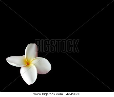 White Plumeria On Black