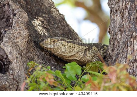 Rock Monitor Lizard