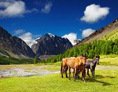 picture of bronco  - Mountain landscape with grazing horses - JPG