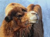 foto of hump day  - A two hump camel  - JPG
