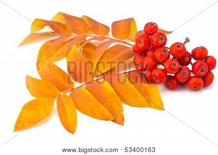 Rowan Berries And Leaves
