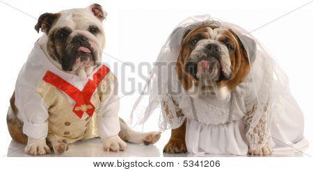 Bulldog Bride And Groom