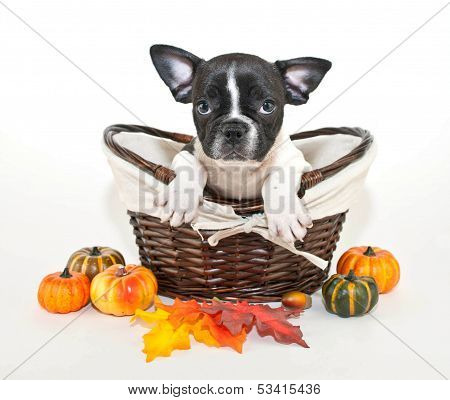 Fall French Bulldog