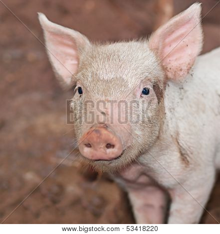 One Young Pig On Farm Portrait