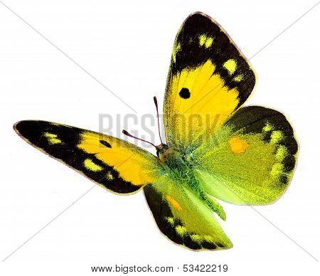 Dark Clouded Yellow (Colias croceus) in flight
