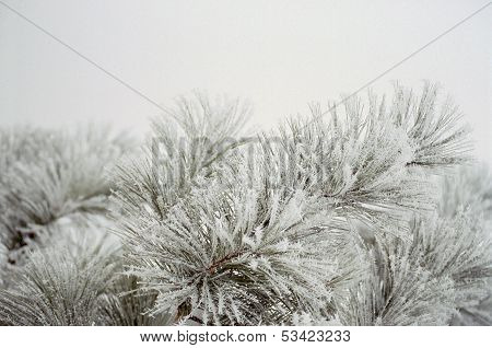 Snowy Pine Boughs.