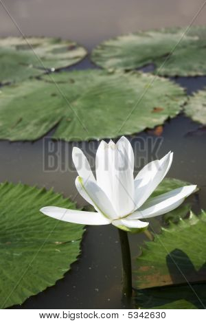 White Water Lily