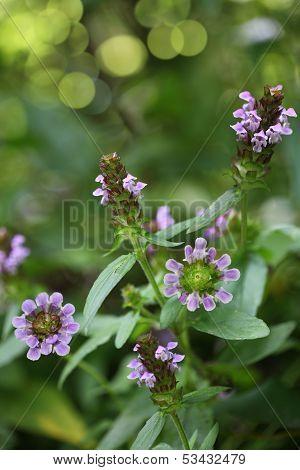 Selfheal Wildflower