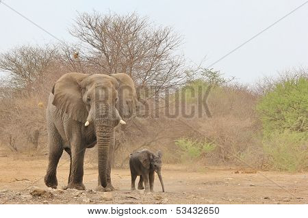 Elephant, African - Wildlife Background from Africa - Baby Animals and Big Bull