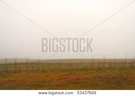 The field in a fog and young trees