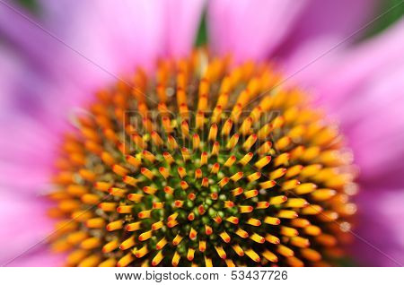 Close Detail Of Echinacea Flower