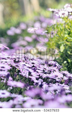 Purple Osteospermum Daisy Meadow