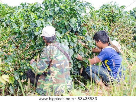 Harvesting arabica coffee berries.
