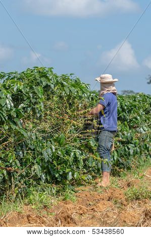 Harvesting arabica coffee berries