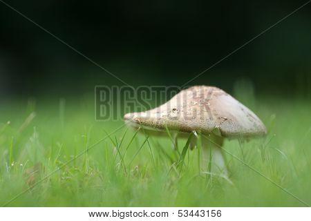 Amanita Rubescens