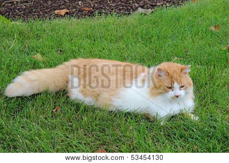 Orange And White Domestic Longhair Cat In The Grass