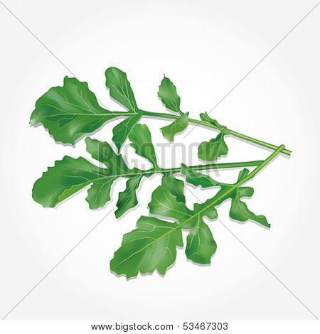 Rucola leaves. Vector illustration.