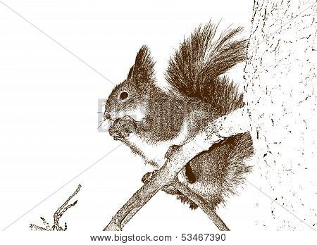 Drawing Of The Squirrel.
