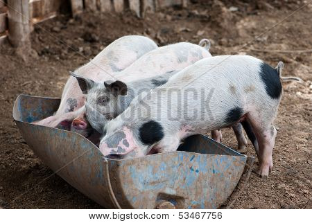 Four Little Pigs Eat In The Barn