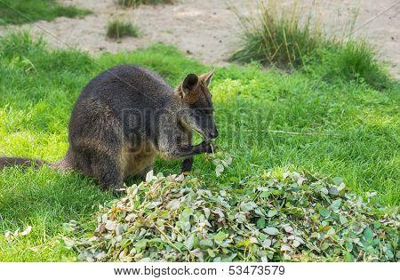 Australian Wallaby