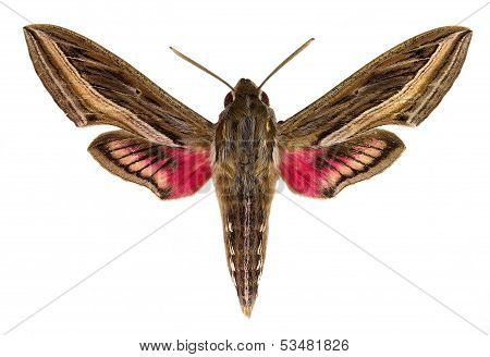 Hippotion celerio (Vine Hawk-Moth or Silver-striped Hawk-Moth)