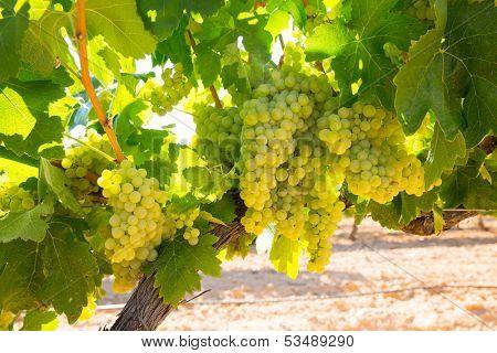 chardonnay Wine grapes in vineyard raw ready for harvest in Mediterranean