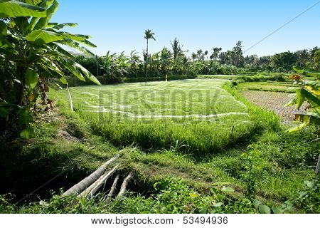 Beautyful rice field in Bali, Indonesia