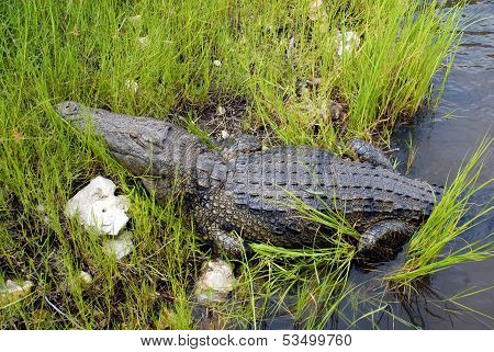Wild Crocodile In Zambezi River