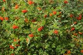 stock photo of rowan berry  - Sorbus aucuparia rowan or mountain - JPG