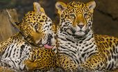 picture of ocelot  - Two young male Jaguars and their mother