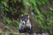 pic of coatimundi  - Male white nosed coati sits on a rock wall - JPG