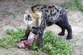 picture of hyenas  - Young hyena cub eating red meat from it - JPG