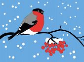 picture of mountain-ash  - the bullfinch sits on a mountain ash branch - JPG