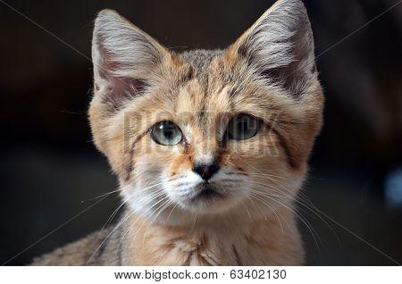A Wild Sand Cat