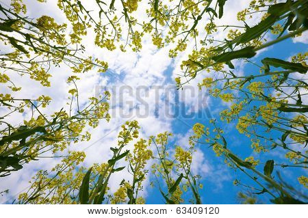 Rapeseed plants viewed from below