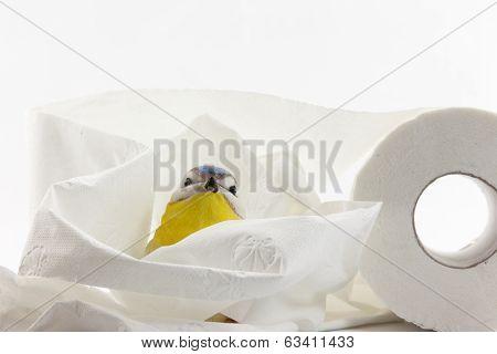 Paper titmouse