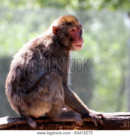 Japanese Macaque Clung To The Branch