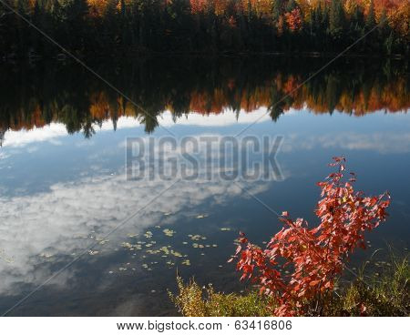 Reflection of cirrus clouds and fall maples in a lake with young, self-sown maple in the foreground