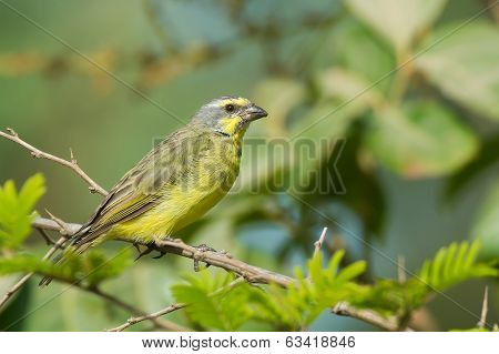 A Yellow-fronted Canary (serinus Mozambicus)