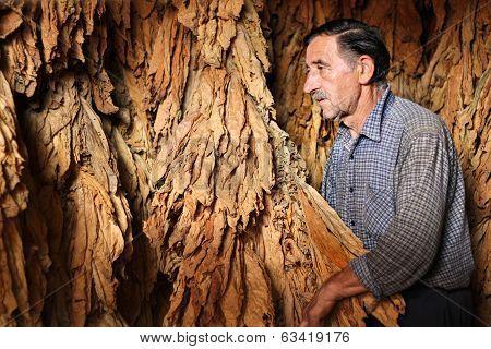 Farmer controls dry tobacco leaf