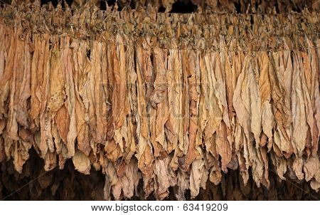 Dry tobacco leaf