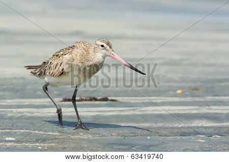 Bar-tailed Godwit Striding Along At The Beach