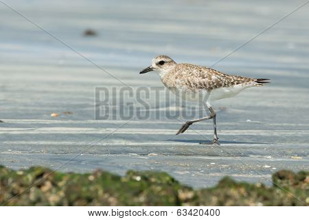 Grey Plover Walking On The Sand At Low Tide