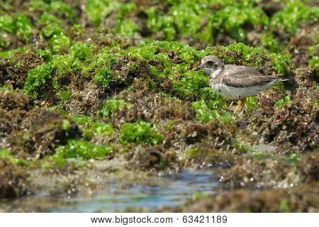 Ringed Plover Standing On Seaweed Covered Rocks By A Tidal Pool