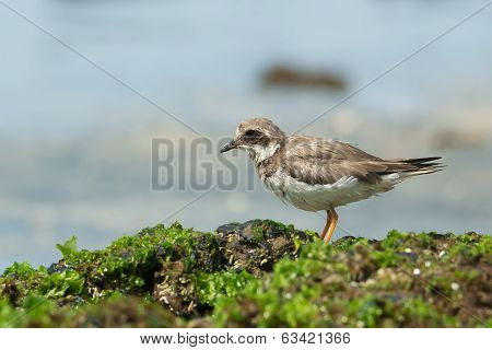 Ringed Plover Standing On Seaweed Covered Rocks