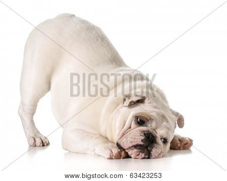english bulldog with bum up in a play bow isolated on white background