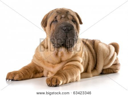 chinese shar pei puppy laying down looking at viewer isolated on white background