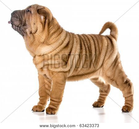 chinese shar pei puppy standing with tongue out isolated on white background - 4 months old