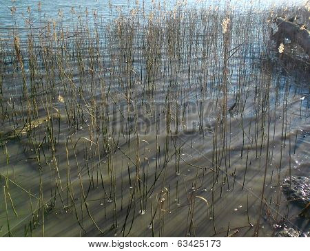 Sedge in marsh