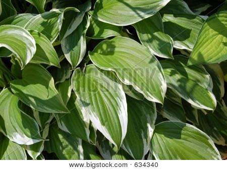 Striped Leaves